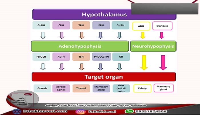 هورمون های هیپوتالاموس کدامند؟